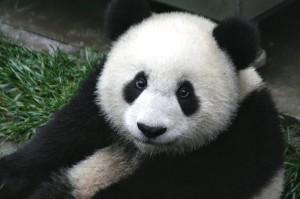 Panda | Travelflight